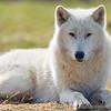 Wolf Conservation Trust 06-04-12  038