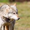 Wolf Conservation Trust 06-04-12  059