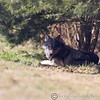 Wolf Conservation Trust 06-04-12  160