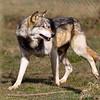 Wolf Conservation Trust 06-04-12  050