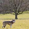 Wolf Conservation Trust 06-04-12  090