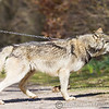 Wolf Conservation Trust 06-04-12  087
