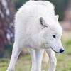 Wolf Conservation Trust 06-04-12  015