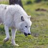 Wolf Conservation Trust 06-04-12  028
