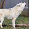 Wolf Conservation Trust 06-04-12  004