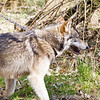 Wolf Conservation Trust 06-04-12  110