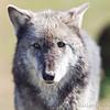 Wolf Conservation Trust 06-04-12  145