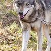 Wolf Conservation Trust 06-04-12  101
