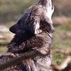 Wolf Conservation Trust 06-04-12  153