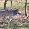 Wolf Conservation Trust 06-04-12  142