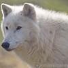 Wolf Conservation Trust 06-04-12  033