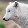 Wolf Conservation Trust 06-04-12  011