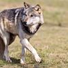 Wolf Conservation Trust 06-04-12  046