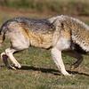 Wolf Conservation Trust 06-04-12  048