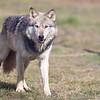 Wolf Conservation Trust 06-04-12  045