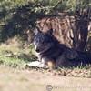 Wolf Conservation Trust 06-04-12  158