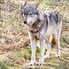 Wolf Conservation Trust 06-04-12  102