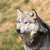 Wolf Conservation Trust 06-04-12  056