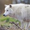 Wolf Conservation Trust 06-04-12  012