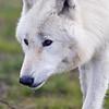 Wolf Conservation Trust 06-04-12  025