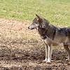 Wolf Conservation Trust 06-04-12  109