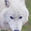 Wolf Conservation Trust 06-04-12  031