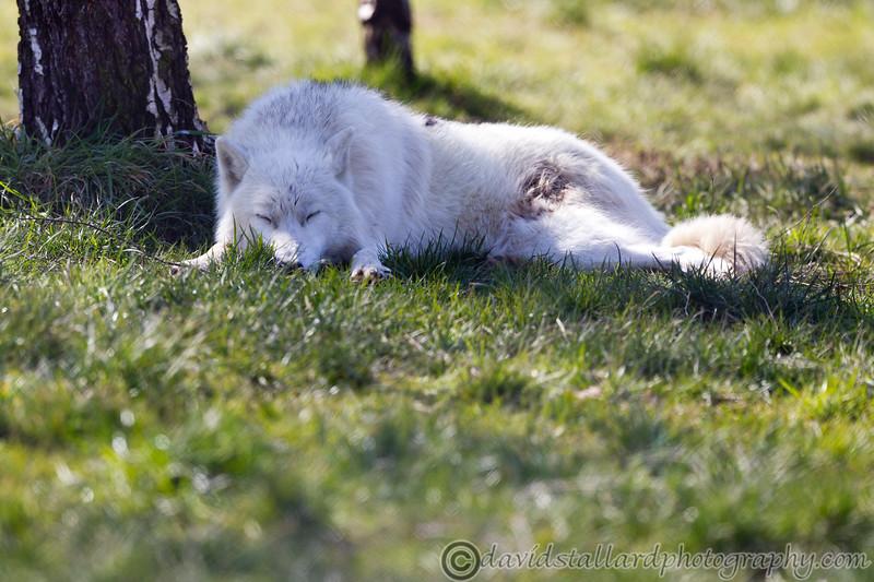 Wolf Conservation Trust 06-04-12  138