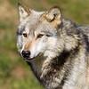 Wolf Conservation Trust 06-04-12  055
