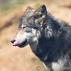 Wolf Conservation Trust 06-04-12  149