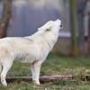Wolf Conservation Trust 06-04-12  005
