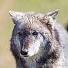 Wolf Conservation Trust 06-04-12  146