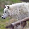 Wolf Conservation Trust 06-04-12  014