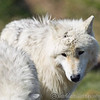 Wolf Conservation Trust 06-04-12  086