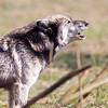 Wolf Conservation Trust 06-04-12  154