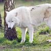 Wolf Conservation Trust 06-04-12  009