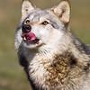 Wolf Conservation Trust 06-04-12  054