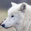 Wolf Conservation Trust 06-04-12  017