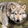 Wolf Conservation Trust 06-04-12  052