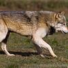 Wolf Conservation Trust 06-04-12  049
