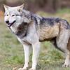 Wolf Conservation Trust 06-04-12  085