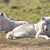 Wolf Conservation Trust 06-04-12  042