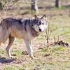 Wolf Conservation Trust 06-04-12  143