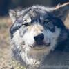 Wolf Conservation Trust 06-04-12  157