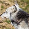 Wolf Conservation Trust 06-04-12  058