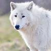Wolf Conservation Trust 06-04-12  039