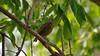 A suspicious brown bird staring with piercing eyes