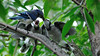 Mother blue jay feeding hungry little ones