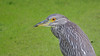 A glossy orange eye of a juvenile Black-crowned Night-Heron.