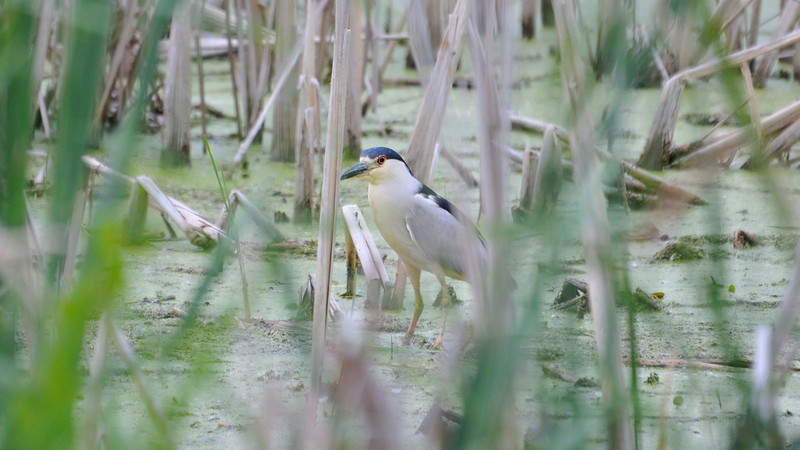 A Black-crowned Night-Heron and his big red eye