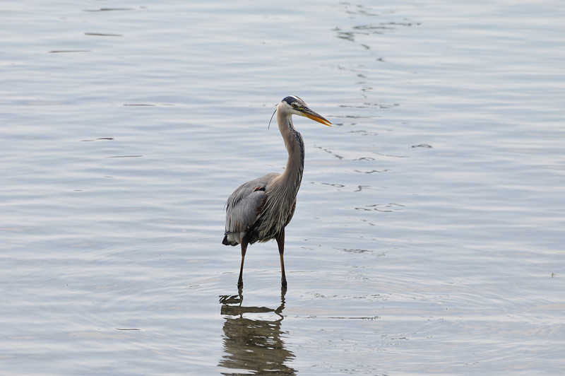 A blue heron standing in water is watching you. Be careful..